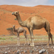 Camel and Calf — Stock Photo