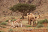 Camel Nursery — Stockfoto