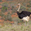 Ostrich with Chicks — Stock Photo #4090546
