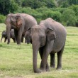 Stock Photo: Sri Lankan Elephant