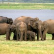 sri lankan elephant — Stock Photo
