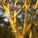 Fever Tree — Stock Photo #5083784