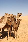Camel Group — Stock Photo