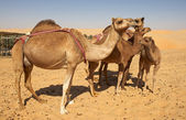 Camel Group — Stock Photo