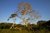 Feber träd — Stockfoto