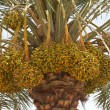 Arabian Dates — Photo