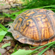 Box Turtle (Terrapene carolina) - Stock Photo