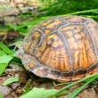 Box Turtle (Terrapene carolina) - Stockfoto
