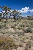 Joshua Trees in the Mojave Desert — Stock Photo