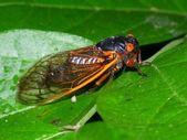 Periodical Cicada (Magicicada septendecim) — Stock Photo