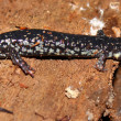 Stock Photo: Slimy Salamander (Plethodon glutinosus)