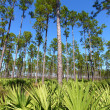 Stock Photo: Pine Flatwoods - Florida