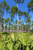 Pine Flatwoods - Florida — Stock Photo