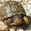 Stock Photo: Turtle With Red Eyes on Rocks