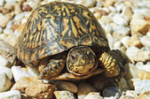 Turtle With Red Eyes on Rocks — Stock Photo
