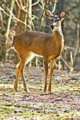 An Alert Deer in the Woods — Stock Photo