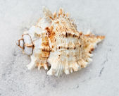 Sea Shell in Snow — Stock Photo