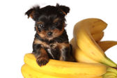 Dog with bananas isolated on white — Stock Photo