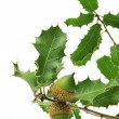 Oak branch — Stock Photo #3964969