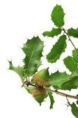 Oak branch — Stock Photo