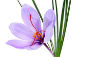 Saffron flower — Stock Photo