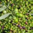 Olives harvesting - Stock Photo