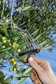 Olives harvesting — Stock Photo