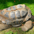Hermann's tortoise — Stock Photo #4275859
