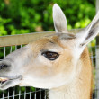 Guanaco — Stock Photo #4278541