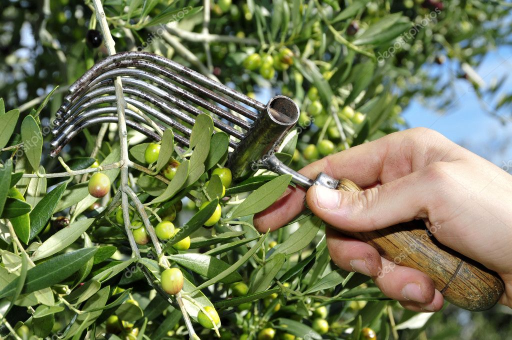 Harvesting olives in an olive grove in Catalonia, Spain — Stock Photo #4335063