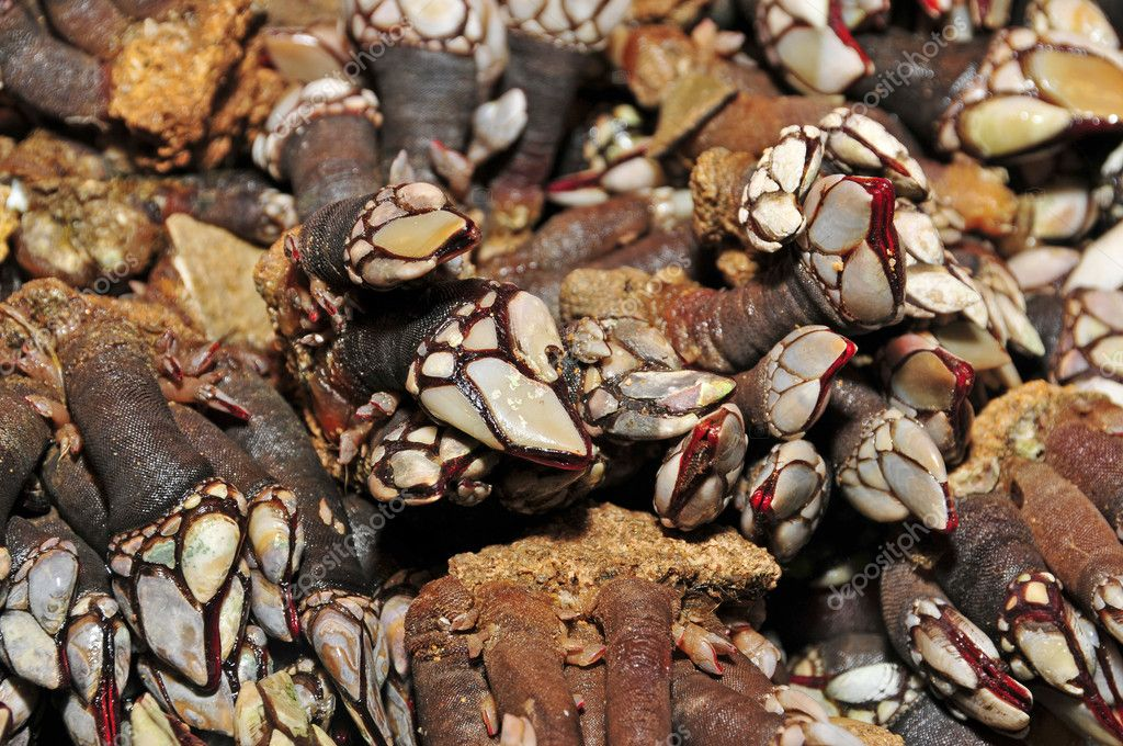 A pile of goose barnacles in a fish and seafood market — Stock Photo #4478912