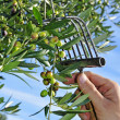 Harvesting olives — Stock Photo