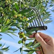 Stock Photo: Harvesting olives