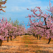 Almond blossoms — Stock Photo #4969069