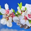 Stock Photo: Almond blossoms