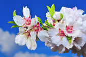 Almond blossoms — Stock Photo
