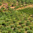 Olive grove in Mont-roig del Camp, Spain - Stock Photo