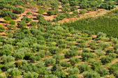 Olive grove in Mont-roig del Camp, Spain — Stock Photo
