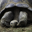 Tortoise — Stock Photo #5323857