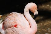Flamingo attitude — Stock Photo