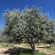 Stock Photo: Olive tree and blue sky
