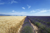 Lavender and wheat field — Stock Photo
