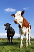 Cow familly — Stockfoto