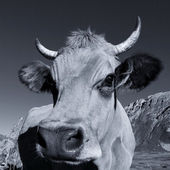Black and white cow square — Stock Photo