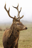 Deer in field — Stock Photo
