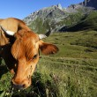 Stock fotografie: Eating altitude grass