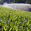 Stock Photo: Corn and water