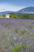 Color of lavender — Stock Photo