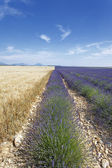 Lavender and wheat fields — Stock Photo