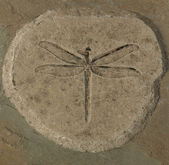 Dragonfly Fossil — Stock Photo
